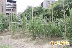 百年糖廍甘蔗園 萬華區公所要求換地種