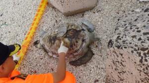 澎湖發現罕見稀有欖蠵龜 已死亡多時