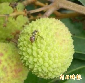 氣候回暖東方果實蠅密度升高 農業局擴大防疫