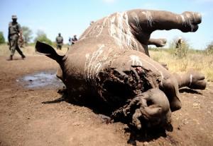 南非犀牛遭盜獵數量 再創歷史新高
