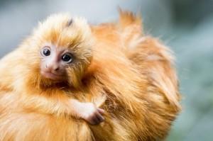 法動物園遭夜襲 7珍稀金獅面狨失竊