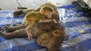 不知媽媽被獵殺 小猴子抱屍想吮奶