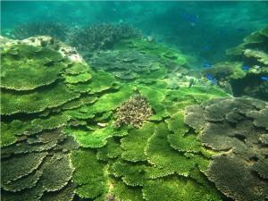 今年水溫飆高 澎湖東吉珊瑚白化風險大增