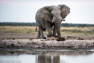 塊陶啊!闖入大象地盤 「萬獸之王」喝水嚇破膽