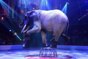 驚!馬戲團大象爬高失誤 朝觀眾席重摔