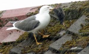 目睹海鷗吞食八哥 英男:「我家屋頂成殺戮戰場」