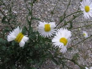 福島核災輻射影響? 日民眾驚見「變種花」