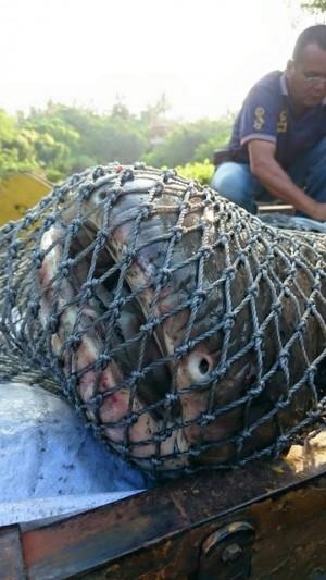 內門紫竹寺魚群離奇消失 就是因為牠!