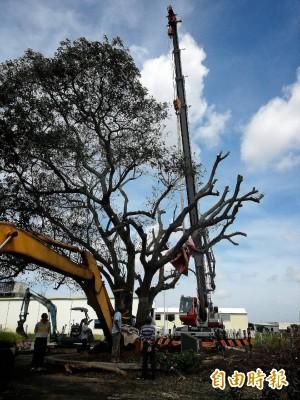 地方自力搶救  台南百歲「樹爺爺」站起來