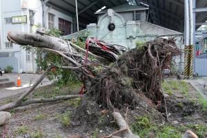 西市場百年老榕樹傾倒將移除 環團發起搶救