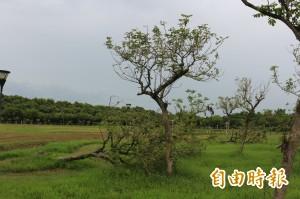 斗六人文公園 颱災後成林木墳場