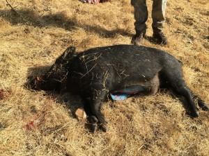 驚!獵人捕到大野豬  剖開肚子全是藍色的!