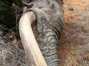 慘遭盜獵者射傷 機靈象群跑到庇護所求助