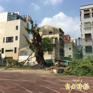 災後重生 台南女中金龜樹再度挺立