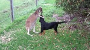 袋鼠狂摸汪星人的頭 網友笑:把狗當寵物了吧