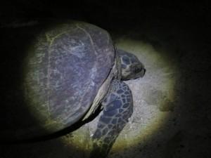 玳瑁澎湖首次登岸產卵紀錄 恐延後2年
