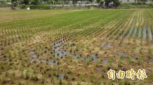 台中種稻面積逐年減少 產量卻快速成長