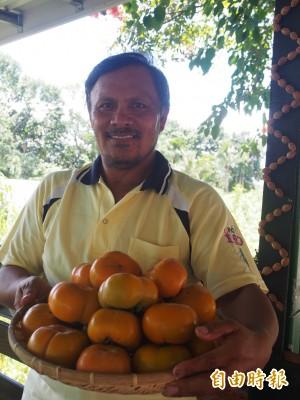 海端鄉甜柿栽種有成 全國最先上市