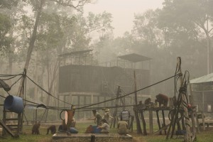 印尼森林大火霾害 紅毛猩猩慘遇死亡威脅