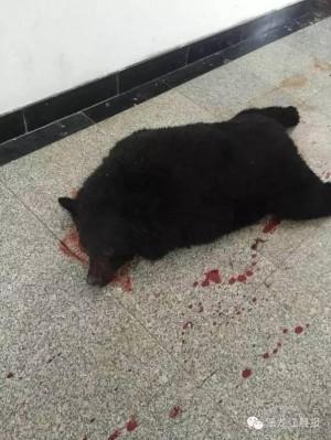 小黑熊誤闖中國校園 遭警開槍擊斃