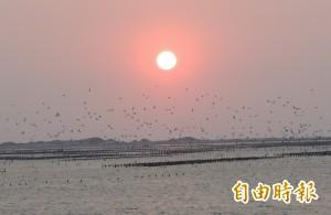 黑腹燕鷗來了! 台南北門潟湖揭開賞鳥季