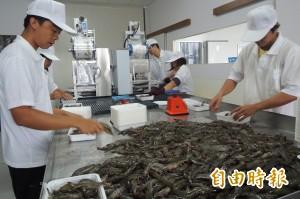 深層海水養蝦  台東推出白蝦新品