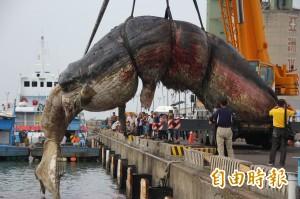 工程浩大!擱淺抹香鯨運往成大安南校區