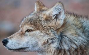 BBC紀錄片爆造假 野狼原來是「演員」