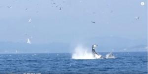 被殺人鯨「調戲」? 小海豹被拋飛80英尺空中