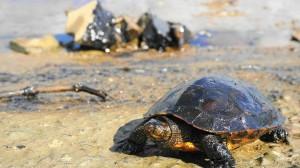 中油漏油污染基隆河 烏龜滿身油污眼睛睜不開