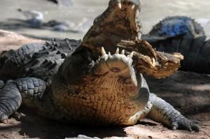 「鱷魚」不收賄 印尼考慮雇用當獄卒
