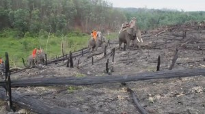 印尼大火延燒數月 出動象群打火