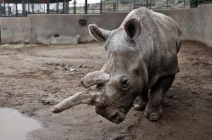 北非白犀牛「諾拉」昨病逝  當今世上僅剩3隻