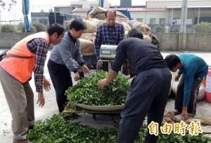 全國冬片茶製茶賽登場 誰能奪冠備受關注