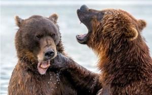棕熊揮出驚天一拳 強大衝擊讓對手眼歪嘴斜