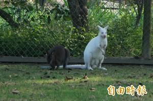 罕見!白化種紅頸袋鼠 這裡看得到
