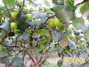 冬溫偏高催熟蜜棗 棗農估減產近2成