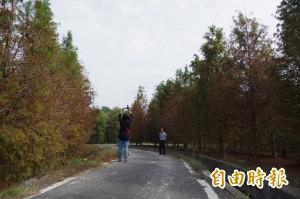 林內鄉落羽松秘境 景色迷人