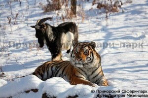 跨種族情誼長存! 「虎羊」好友還在一起