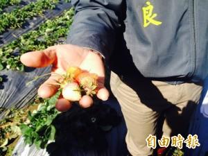 低溫農作損 徐耀昌視察農損