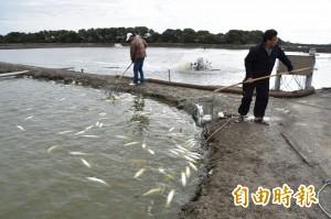 高雄永安虱目魚大量凍死 損失難以估計
