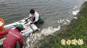寒害影響 魚塭變虱目魚墳場