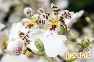 全球唯一 台灣附帶栽培介質文心蘭可輸美