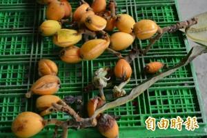 太平枇杷、荔枝寒害嚴重 產量銳減盼補助