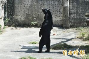 壽山黑熊站起來 黑熊媽媽:別再娛樂牠