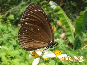 紫斑蝶北遷爆量3年來最多  「小蝶河」吸睛