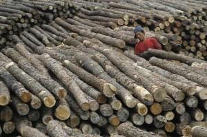 中國復育森林 「毀林轉移」大量進口他國木材