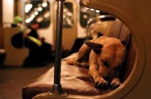 莫斯科狗狗會搭地鐵 原來是「趨同演化」
