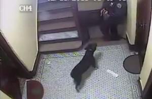 鬥牛犬搖尾巴走出門 警察卻瞄準他頭部開槍...