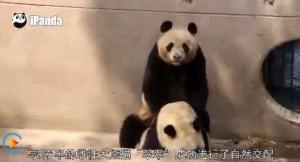 中國架實況網站  貓熊交配「全程直播」